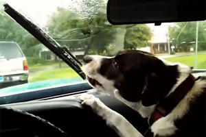Did You Know Dogs Hate Windshield Wipers This Much?