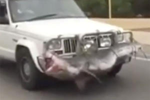 Why The Hell Did This Guy Strap A Dead Shark To His Truck?